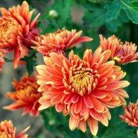 Осенние цветы :: Vladimir Lisunov