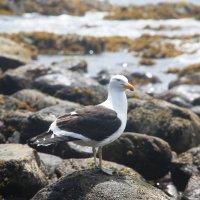 Black-browed Albatross :: чудинова ольга