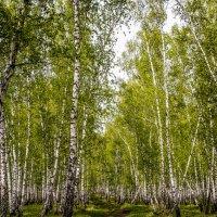 Дорога в берёзовую рощу. :: юрий Амосов