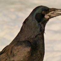 ворона держит крошку, как пинцетом :: Александр Прокудин