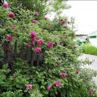 Когда цветёт шиповник :: Leonid Rutov