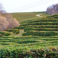 Мацеста. Чайные плантации. :: Наталья
