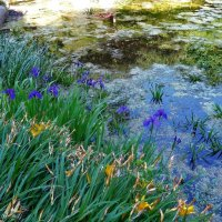 Loki Schmidt Garten (серия). Ирисы у воды :: Nina Yudicheva