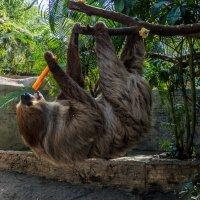 Не зря его назвали ленивцем.. :: Виктор Льготин