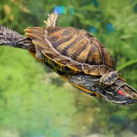 Красноухая черепаха. :: Анатолий Сидоренков