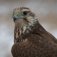 Просто орел :: Виталий Латышонок