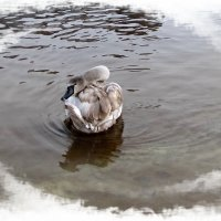 Грустный лебедь :: veera (veerra)