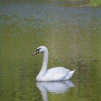 белый лебедь на пруду... :: Andrei Antipin