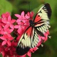 бабочка :: Naum