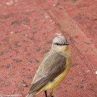Golden-crowned Wabler :: чудинова ольга