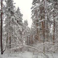 Куда ведёшь меня лыжня... :: Владимир Шошин