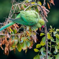 Ожереловый попугай :: Александр Григорьев