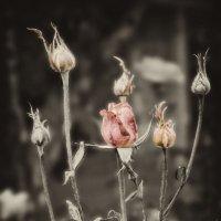 Розы :: Alexander Dementev