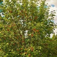 Дикая яблоня... :: Sergey Gordoff