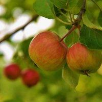 Дикие яблоки... :: Sergey Gordoff