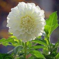 цветы запоздалые :: валя