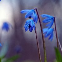 Немного о весне зимой... В тёмно-синем лесу... :: Александр Резуненко