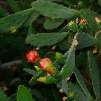 Цветение кактуса. Никитский ботанический сад. Крым. :: Любовь К.