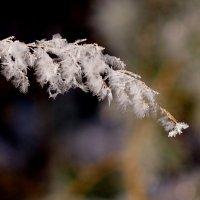 мороз украсил ветку :: Александр Прокудин