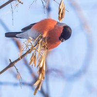 Снегири прилетели! :: Борис Кононов