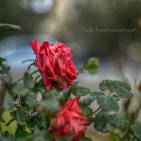 Розы :: Антон Кудряшов