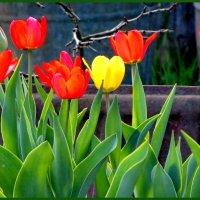 Яркие тюльпаны :: Светлана