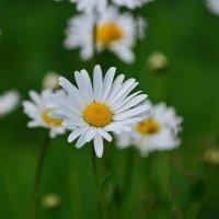 Ромашка белая, лепесточки нежные, мне дороже всех цветов, ведь она моя любовь :: Tatyana Nemchinova