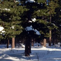 Кедровый лес в феврале :: Вера Андреева