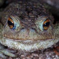 Зеленая жаба :: Петр Богомазов