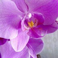 Орхидея :: Александр Алексеев