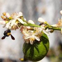 Шмелик и веточка лимона :: Александр Деревяшкин