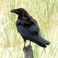 Чёрный ворон :: Александр Михайлов