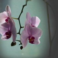 Орхидеи зимой :: Валерий Лазарев