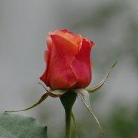 Роза* :: Алексей Цветков