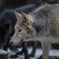 Полярный волк и вольфхунд :: Владимир Колесников