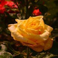 Сказочная роза :: Светлана Ларионова