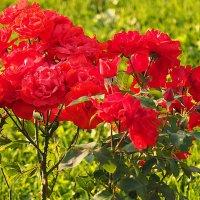 городские цветы-розы алые :: Олег Лукьянов