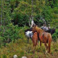 Лошади в горном лесу :: Сергей Чиняев