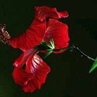 китайская роза :: Александр Корчемный