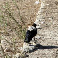 Ворона --Археолог :: Герович Лилия