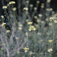 Желтые полевые цветы :: Мария Тишина