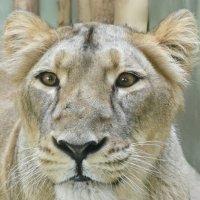 Львица в зоопарке Праги :: Мария Тишина