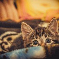 Котёнок Пикси :: Алиса К