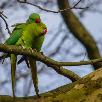Индийские кольчатые попугаи :: Kaspars Stūrītis