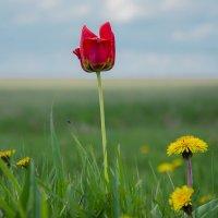Тюльпан в поле :: Вера