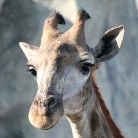 Портрет!!! Жирафа!!!! :: Светлана Масленникова