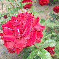 Царица цветов :: Svetlana Lyaxovich