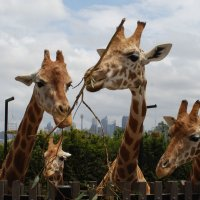 - У жирафа много пятен, Он, наверно, неопрятен? - Все необходимые Пятнышки родимые! :: Лара Гамильтон