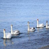 Лебеди на море в Янтарном.  Ждут, что пришедшие на берег отдыхающие, принесли им угощение. :: Маргарита Батырева