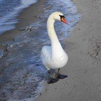 Лебеди на море в Янтарном :: Маргарита Батырева
